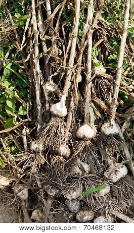 Stems And Garlic Bulbs In Garden