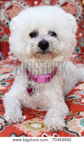A pure breed Bichon Frise dog smiles as she sits for her portrait. Bichon Frise Dogs were bred for Royalty and the Common People could not own them, until now when we can All love them.