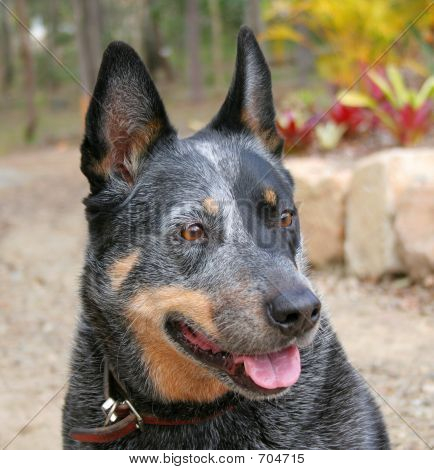 Purebred Cattle Dog