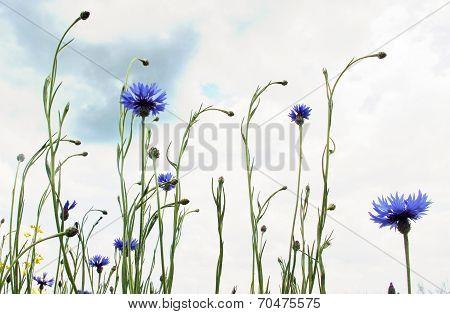 Cornflowers In The Meadow