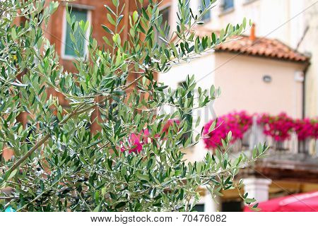 Olive Tree In The Square Of The Jewish Ghetto Of Venice