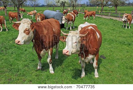 Herd Of Bavarian Milkers In A Fruit Orchard