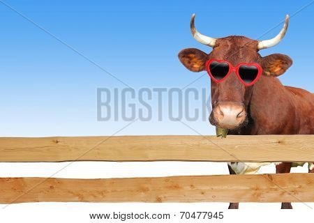 Funny Cow With Eye Glasses, Behind Wooden Planks