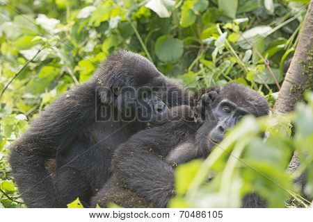 Mountain Gorilla Grooming Another Gorilla