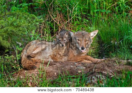 Coyote (canis Lantrans) With Tongue Out And Pup