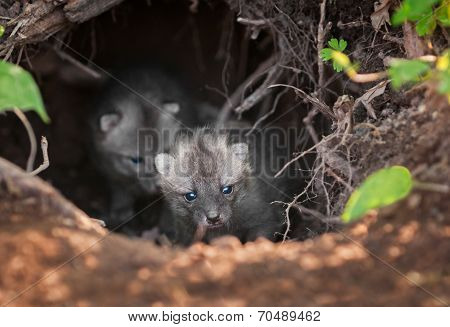 Grey Fox Kit (urocyon Cinereoargenteus) Leads Others Out Of Den