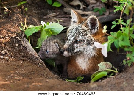 Grey Fox (urocyon Cinereoargenteus) And Kit Peer Out Of Den
