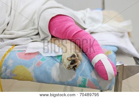 Pink Bandage Covering Golden Retriever Back Leg