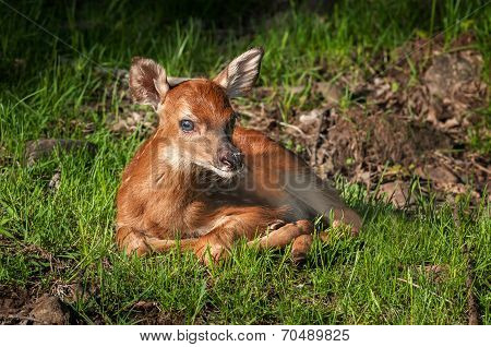 White-tailed Deer Fawn (odocoileus Virginianus) Looks At Viewer