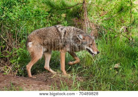 Coyote (canis Latrans) Prowls By Den