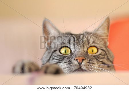 Tabby Cat Lurking For Mouse