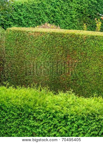 a hedge of arborvitae as a privacy screen in a garden. cut and uncut