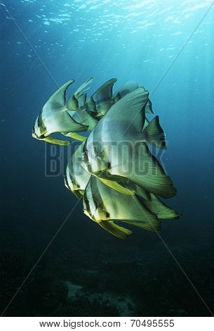 Raja Ampat, Indonesia, Pacific Ocean, juvenile batfish (Platax teira) swimming under surface of ocean