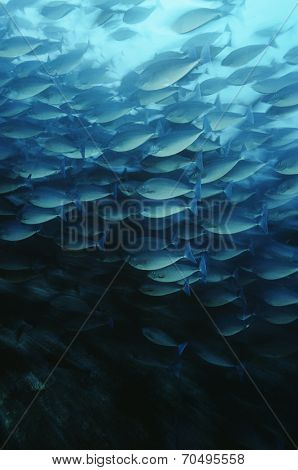 Raja Ampat, Indonesia, Pacific Ocean, School of elongate surgeonfish (Acanthurus mata) feeding on plankton