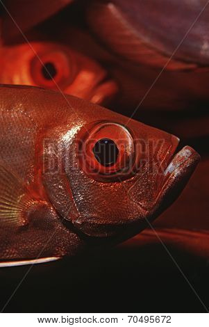 Mozambique, Indian Ocean, crescent-tail bigeyes (Priacanthus hamrur), close-up