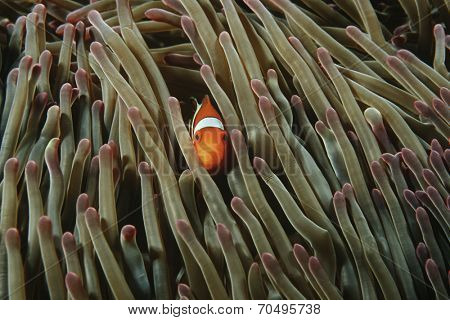 Raja Ampat, Indonesia, Pacific Ocean, false clown anemonefish (Amphiprion ocellaris) hiding in magnificent sea anemone (Heteractis magnifica)