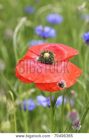 One Red Poppy Flower And Blurred Cornflowers