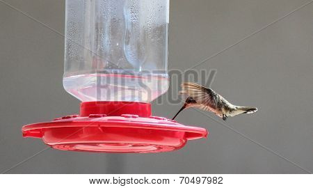 Anna's Hummingbird Feeding in Flight