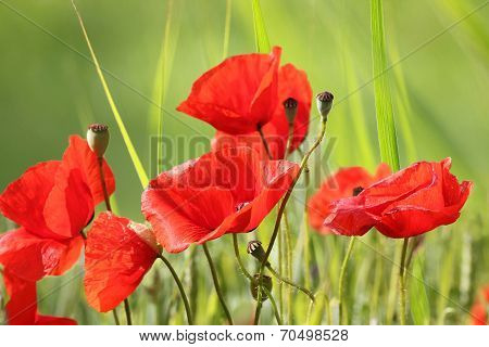 Red Poppy Flowers In The Meadow
