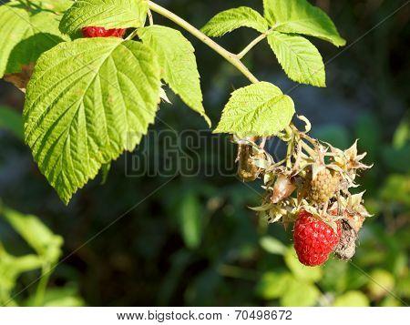 Ripe Fruit Of Red Raspberry On Green Bush
