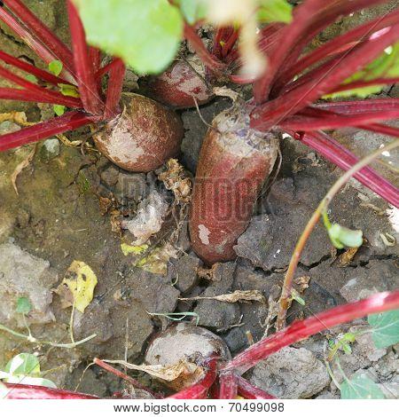 Red Beet In Ground On Garden