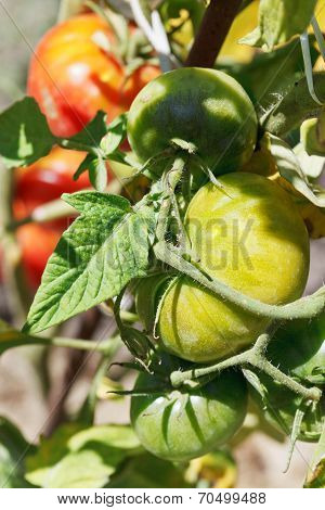 Green Tomato Plant Close Up In Garden