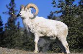 foto of goat horns  - Mountain Goat near forest - JPG