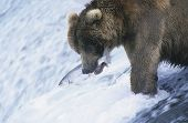 pic of food chain  - Grizzly bear swimming with fish in mouth - JPG