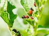 foto of larva  - colorado beetle larva eating potato leaves in garden - JPG