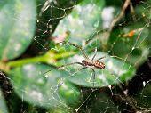 foto of cobweb  - spider on cobweb between boxwood leaves after rain  - JPG