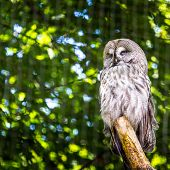 picture of laplander  - The Great Grey Owl or Lapland Owl Strix nebulosa - JPG