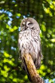 stock photo of laplander  - The Great Grey Owl or Lapland Owl Strix nebulosa