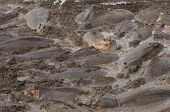 picture of wallow  - Herd of Hippopotamus Wallowing in River Mud - JPG