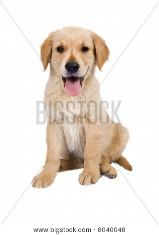 Sitting Puppy - Golden Retriever
