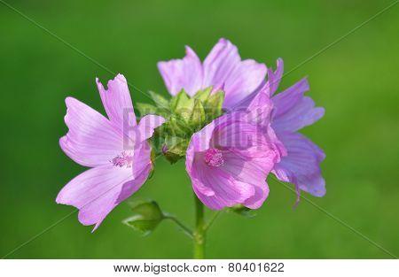Mallow Flower