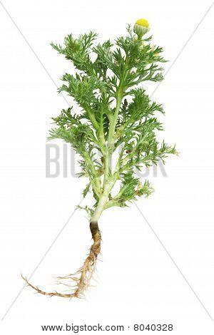 Tansytanacetum Vulgare