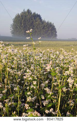Summer Farmland Landscape With Buckwheat Blossoms And Fog