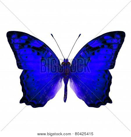 Beautiful Vagrant Butterfly upper wing in fancy blue color profile isolated on white background