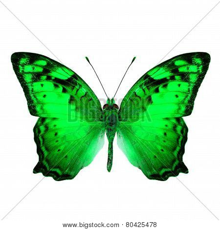 Beautiful Vagrant Butterfly upper wing in fancy green color profile isolated on white background