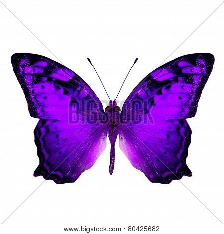 Beautiful Vagrant Butterfly upper wing in fancy purple color profile isolated on white background