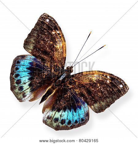 Black-tip Archduke upper wing profile in natural color isolated on white background with soft shadow