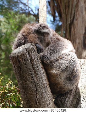 A sleeping Koala ina tree