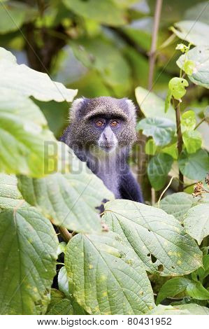 Blue monkey in the tree