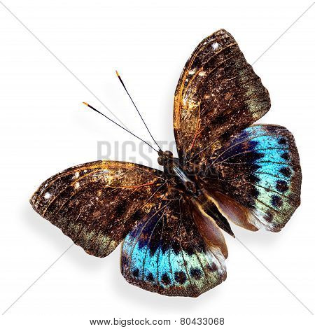 Close up of Black-tip Archduke upper wing profile in natural color isolated on white background with soft shadow