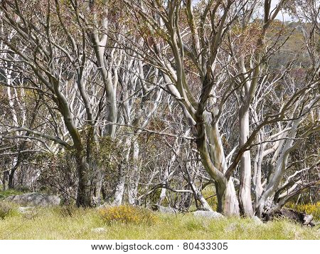 Trees in the Snowy mountains