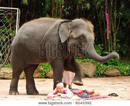 Asian Elephant Or Elephas Maximus Show