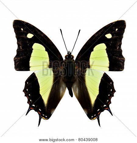 Common Nawab Butterfly upper wing profil in natural color isolated on white background
