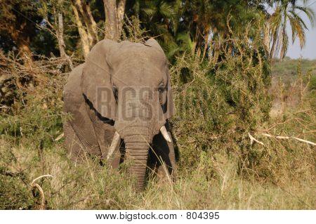 Facing Elephant