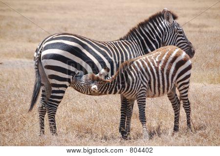 Nursing Zebra and Mother
