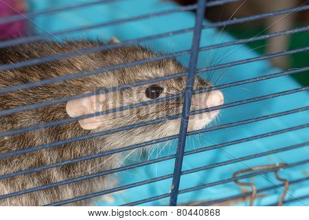 Domestic Rat In A Cage